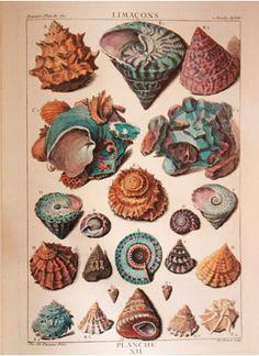 Art - Vintage Sea Shells - Natural History Print
