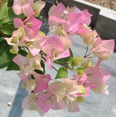 Green Thumb Nursery - Bougainvillea Growing Guide