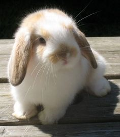 Baby Animals Super Cute, Cute Baby Bunnies, Cute Little Animals, Cute Funny Animals, Mini Lop Bunnies, Mini Lop Rabbit, Holland Lop Bunnies, Rabbit Baby, Cute Bunny Pictures
