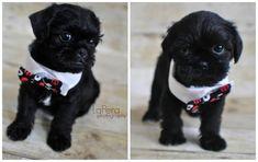 Black pug-zu