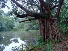 Pequenos lagos - Seringueira  JRCNetto