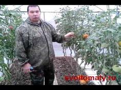 Томаты (помидоры) Уход за томатами в сентябре