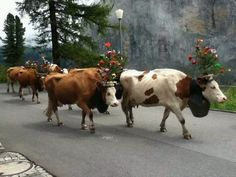 SWISS COWS, walking through town. I can still hear their bells.