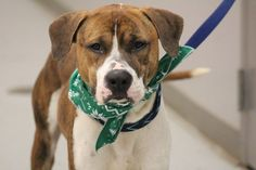 ADOPTED>NAME: Kane  ANIMAL ID: 34509342 BREED: boxer  SEX: male  EST. AGE: 2 yr  Est Weight: 54 lbs  Health: Heartworm neg  Temperament: appears to have some jealousy issues with other dogs. Dog friendly otherwise, people friendly  ADDITIONAL INFO: RESCUE PULL FEE: $14 until the 14th  Intake date: 1/26 Available: now