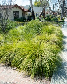 A wonderful plant, always looks good, low water, etc. Photo doesn't do it justice! Shade Perennials, Shade Plants, Lomandra, Shade Grass, Tropical Garden Design, Australian Native Garden, Coastal Gardens, Garden Planner, Annual Plants