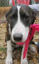Suze Q is PURE sweetness! is an adoptable Border Collie Dog in Bennettsville, SC. Suzie Q is a unique, dainty female white and brindle hound/retriever mix. She is very low key, gets along great with o...