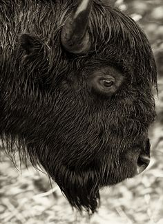 Bison, by Dan Newcomb.