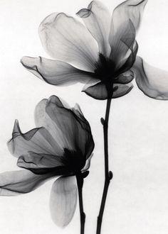 Nice tatoo Magnolia soulangia (Saucer Magnolia) x-ray images. could make for pretty tattoos! Tatoo Art, Body Art Tattoos, Tatoos, Color Tattoo, Pretty Tattoos, Beautiful Tattoos, Xray Flower, Lotus Flower, Magnolia Tattoo