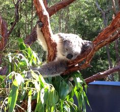Did you know that a koalas' fur is different according to their habitat? It is longer and thicker in the south, where winters are colder! | www.zoo.org.au