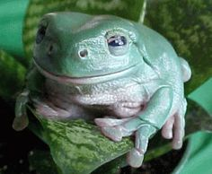 These frogs seem to have a perpetual smile on their faces. White's tree frogs are often kept as pets, but are happiest when left alone in their native home: the woodland and scrub close to water in northeast Australia and New Guinea. Green Tree Frog, Red Eyed Tree Frog, Green Trees, White Trees, Dumpy Tree Frog, Whites Tree Frog, Pond Animals, Tortoise Turtle, Photos