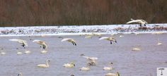 One of a few shots I took at conservation area. This is a stop off point for Tundra Swans leaving from the East Coast of USA headed to the Arctic Circle for the summer. I am in southwestern Ontario Canada. Shot by Gavin Gillett