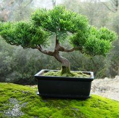 flamboyan bonsai   Marrón, rojizo, gris sin barniz, negro o blanco mate.