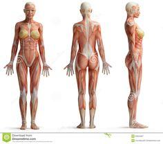 「female anatomy」の画像検索結果