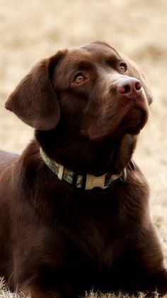 Labradors, Labs, Labrador Retriever, Animals, Labrador Retrievers, Animales, Animaux, Animal, Labrador