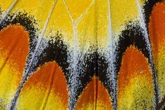 Close-up photograph Butterfly Wing detail photographed by:  Darrell Gulin