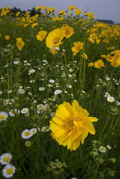Yellow Cosmos - Smokin Hot Chicks by Live Mulch #cosmos