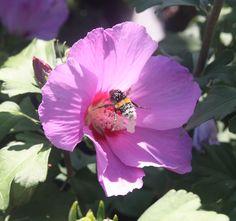 HIBISCUS syr. RUSSIAN VIOLET ® 'Floru' Trees To Plant, Hibiscus, Flowers, Plants, Tree Planting, Florals, Plant, Flower, Bloemen