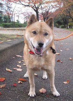 北海道犬(HOKKAIDOUINU)