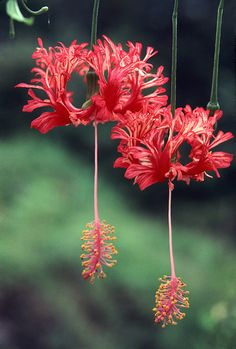 Hibiscus schizopetalus a. coral or fringed hibiscus. Native to Kenya, Tanzania & Mozambique. Unusual Flowers, Unusual Plants, Rare Flowers, Exotic Plants, Amazing Flowers, Beautiful Flowers, Rare Plants, Hibiscus Flowers, Tropical Flowers
