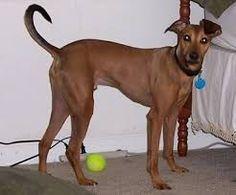 Image result for doberman greyhound mix