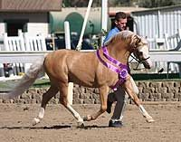 Welsh Pony stallion at stud - *Wedderlie Mardi Gras LOM/AOE - Imported Section B My Pretty Pony, Welsh Pony, Palomino, Ponies, Mardi Gras, Mountain, Sports, Beautiful, Color