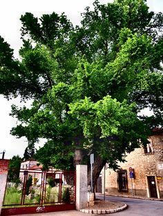 La Olma Centenaria . Unico superviviente de los plantados Goyeneche