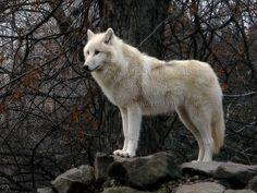 Alaskan Tundra Wolf, Budapest Zoo by Gaschwald, via Flickr