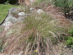 California Native Bunchgrasses - California Native Plant Society