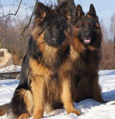 Long haired shepherds. So handsome! Maybe someday...;)