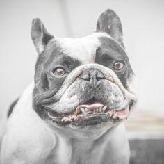 Eliminate Over 30+ Common Behavioral Bulldog Issues - bulldog #bulldog