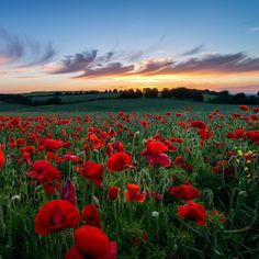 ▒ poppyflowers