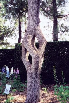 Axel Erlandson's arbor sculpting.