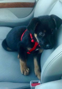 Meet Buster! My Rottweiler, Lab, Shepard mix puppy. Rescued him in Atlanta