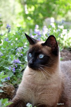 ᘡℓvᘠ ღϠ ღ彡 - Siamese Cat - Ideas of Siamese Cat - ᘡℓvᘠ ღϠ ღ彡 ڿڰ ℓα-ℓα-ℓα вσηηє νιє SUN FEB 19 2017 gυяυ ॐ нανє α ηιє αу ღ 彡 ஜℓvஜ The post ᘡℓvᘠ ღϠ ღ彡 appeared first on Cat Gig. Siamese Kittens, Cute Cats And Kittens, I Love Cats, Crazy Cats, Kittens Cutest, Tabby Cats, Bengal Cats, White Kittens, Black Cats