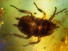 prehistoric cockroach
