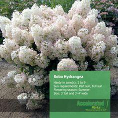Bobo Hydrangea