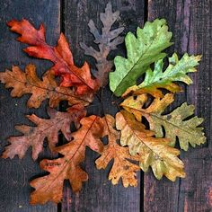Oak leaves in various degrees of autumn color.