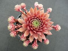 Sempervivum 'Faramir' is an attractive, hardy succulent plant with honey pink leaves clustered around a soft green center. The rosettes...