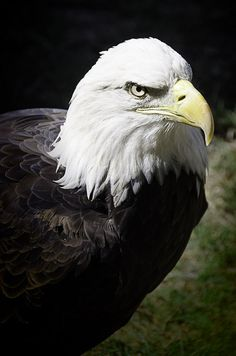 You don't see that everyday 23 eagle by Silver Image, via Flickr