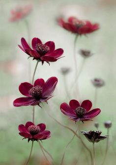 """Cosmos Choca mocha (Cosmos atrosanguineus 'Chocamocha'). 12"""" tall and wide. Even smell of chocolate. Often grown as an annual, but can be perennial if grown in pots and winterized away from colder temperatures. Easily grown from seed."""