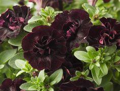 Happy Magic Petunia Mini Double Black (http://www.cohennur.co.il/BrandNewVarietyResults.aspx?plantId=2263) #2015 #new #eckertsgreenhouseMI #petunia #happymagic #minidblblack