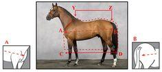 Juiste maat deken voor je paard | Paardendrogist