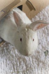 Bozo is a gorgeous BWB (big white bunny!) looking for a home at Ohio House Rabbit Rescue! Are you the hope that he could be looking for?