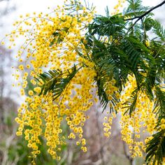 Buy mimosa Acacia dealbata - Sweetly scented yellow blooms: Delivery by Waitrose Garden in association with Crocus Australian Native Garden, Australian Native Flowers, Australian Plants, Botanical Flowers, All Flowers, Yellow Flowers, Acacia, Front Yard Garden Design, Yellow Tree