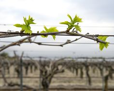 Grapes from California in the making.  This stage in the annual grapevine cycle is called budbreak, where green leaves begin to appear on the vines.