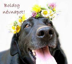 Name Day, Labrador Retriever, Names, Celebrities, Funny, Animals, Vintage, Labrador Retrievers, Celebs