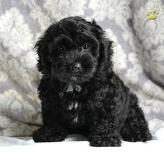 Shadow - Cockapoo Puppy for Sale in Ronks, PA   Lancaster Puppies
