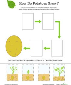 Worksheets: How Does it Grow?: Potato