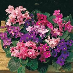 Amazon.com: Fantasy Hybrid African Violet Seeds - Flower Seeds & Plants: Patio, Lawn & Garden