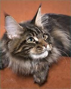 Woodpile Maine Coons - AT&T Yahoo Image Search Results